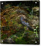 Gator Swamp Acrylic Print