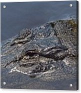 Gator - Too Close Acrylic Print
