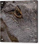 Gators Eye Acrylic Print