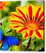 Gazania And Blue Butterfly Acrylic Print