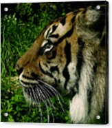 Gaze Of The Tiger Acrylic Print