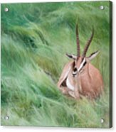 Gazelle In The Grass Acrylic Print