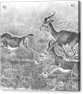 Gazelles Acrylic Print