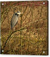 Gbh In A Tree Acrylic Print