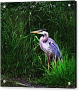 Gbh In The Grass Acrylic Print
