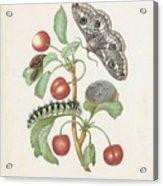 Gedaanteverwisseling Van De Nachtpauwoog  Maria Sibylla Merian  1679 Acrylic Print