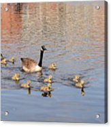 Geese And Goslings 3 Acrylic Print