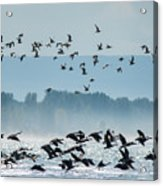 Geese And Gulls Acrylic Print