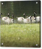 Geese At Spring Meadow Acrylic Print