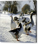 Geese At The Frozen Horninglow Basin Acrylic Print