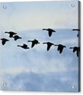Geese Flying South Acrylic Print