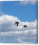 Geese In Flight Acrylic Print