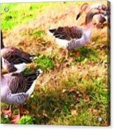 Geese In The Yard Acrylic Print