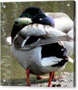 Geese Lovers Acrylic Print