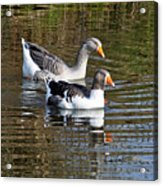 Geese On The Canal   Acrylic Print