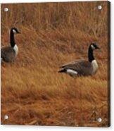 Geese On The Salt Marsh  Acrylic Print