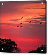 Geese On Their Sunset Arrival Acrylic Print