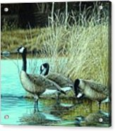 Geese On Watch Acrylic Print