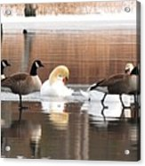 Geese Swans And Ducks Acrylic Print