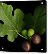 Gelini's Fig Tree Acrylic Print