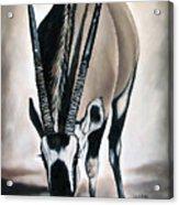Gemsbok - Thirst Acrylic Print