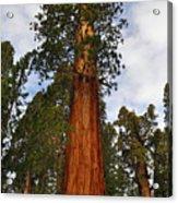 General Sherman Tree Acrylic Print