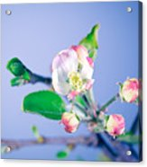 Gentle Apple Tree Flowers Acrylic Print