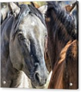 Gentle Face Of A Wild Horse Acrylic Print
