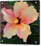 Gentle Hibiscus Acrylic Print