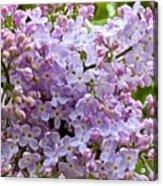 Gentle Purples Acrylic Print