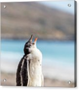 Gentoo Penguin Calling For Mother On Shingle Acrylic Print