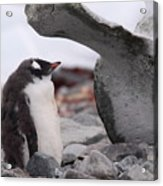 Gentoo Penguin Chick Under Whale Vertebrae Acrylic Print