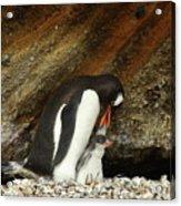Gentoo Penguin Feeding Chicks Acrylic Print