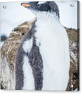 Gentoo Penguin With Turned Head On Snow Acrylic Print
