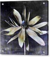 Genus Protea Acrylic Print
