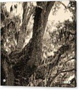 Georgia Live Oaks And Spanish Moss In Sepia Acrylic Print