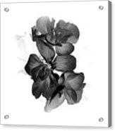 Geranium Black Acrylic Print