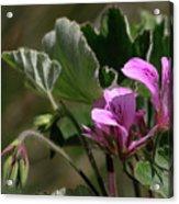 Geranium Blossom Acrylic Print