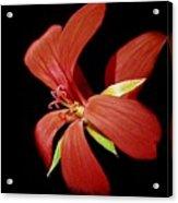Geranium Flower Acrylic Print
