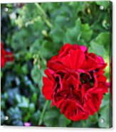 Geranium Flower - Red Acrylic Print