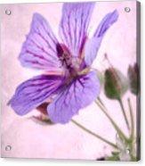 Geranium Maculatum Acrylic Print