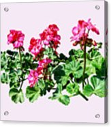 Geraniums In A Row Acrylic Print
