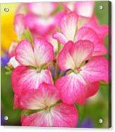 Geraniums On A Brilliant Summer Day Acrylic Print