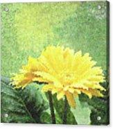 Gerber Daisy And Reflection Acrylic Print