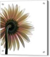 Gerber Daisy Acrylic Print