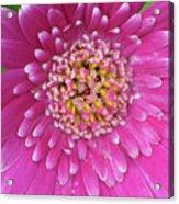 Gerber Daisy - Sweet Memories 01 Acrylic Print