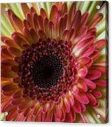 Gerbera Beauty Acrylic Print