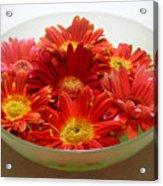 Gerbera Daisies - A Bowl Full Acrylic Print