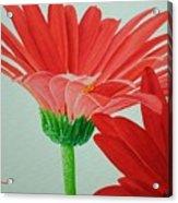 Gerbera Daisies Acrylic Print