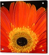 Gerbera Daisy - Glowing In The Dark Acrylic Print